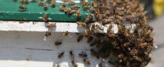 Giornata mondiale delle api, in Italia azzerata la produzione di miele a causa dell'instabilità climatica: vola l'import