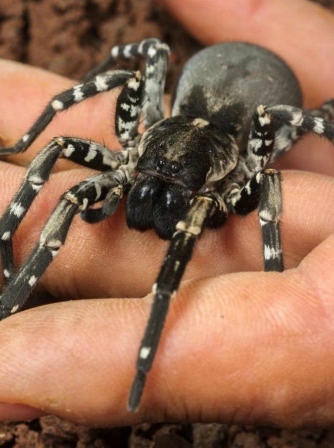 Australia, muore punto da una vespa il ragno più vecchio del mondo ...