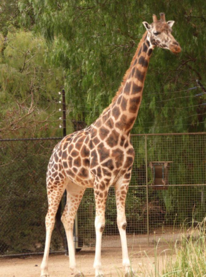 Ucciso sul set dal collo di una giraffa: morto il 47enne regista Carlos Carvalho