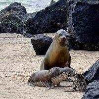 Tenerezze: una famiglia di leoni marini