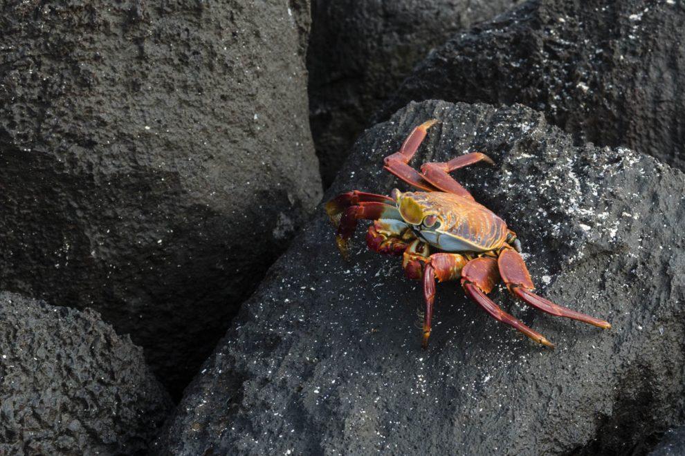 Un granchio Grapsus graspus su una roccia lavica