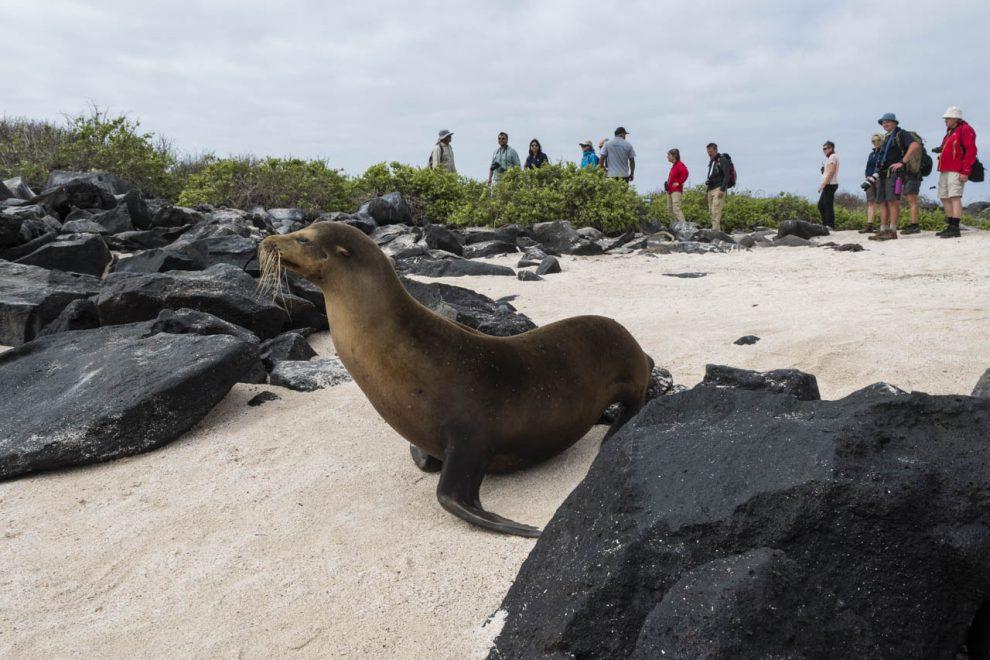 Un leone di mare delle Galapagos (Zalophus californianus wollebaeki)