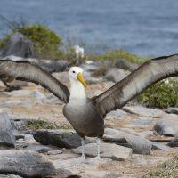 Albatross, (Diomedea irrorata).