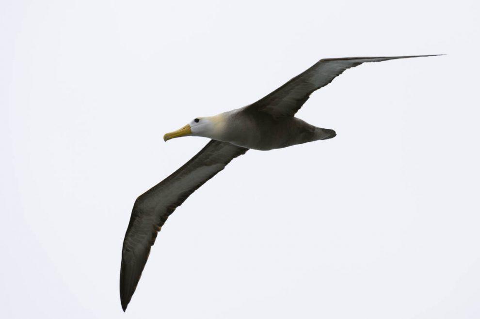 Albatross in volo
