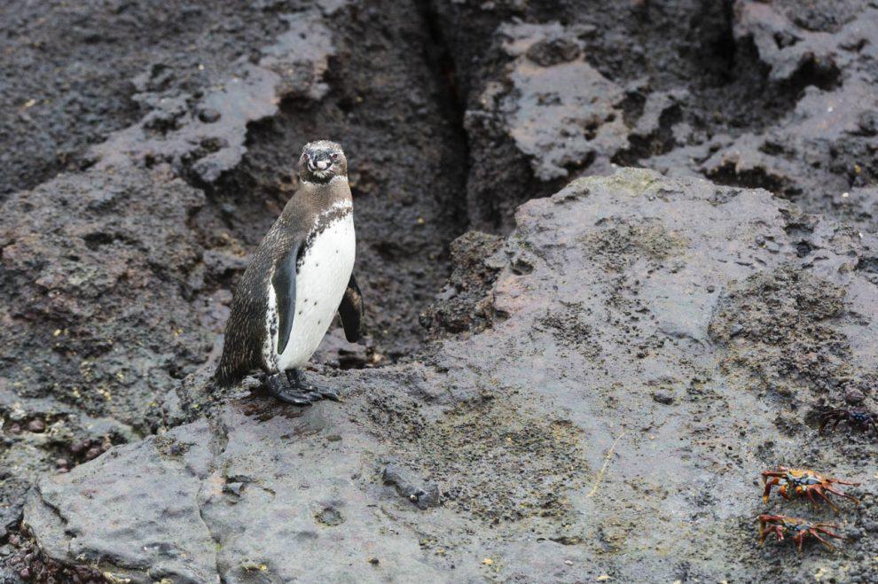 Un pinguino delle Galapagos