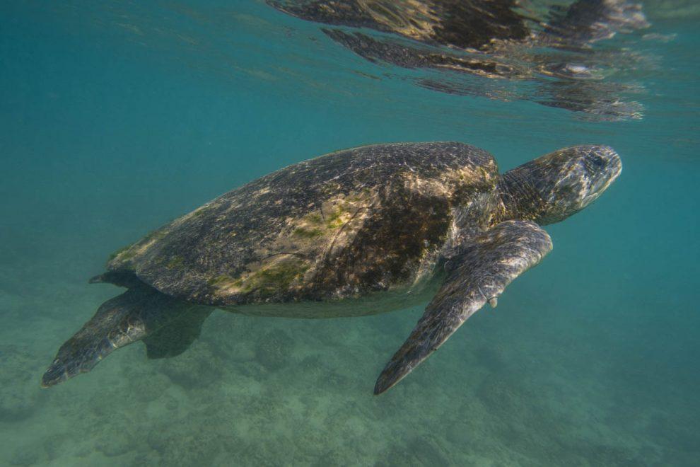 La tartaruga verde del Pacifico (Chelonia mydas agassizi).