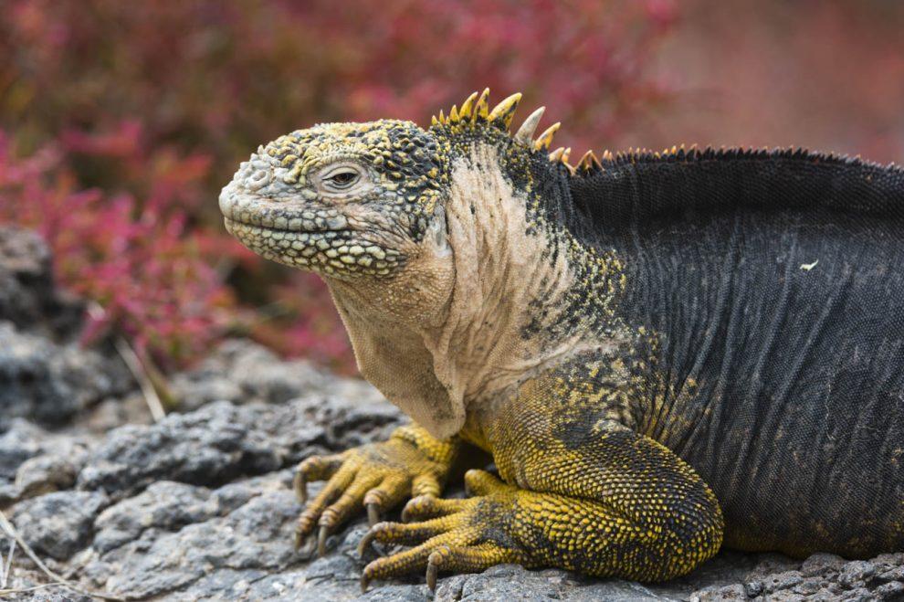 Iguana terrestre (Conolophus subcristatus).