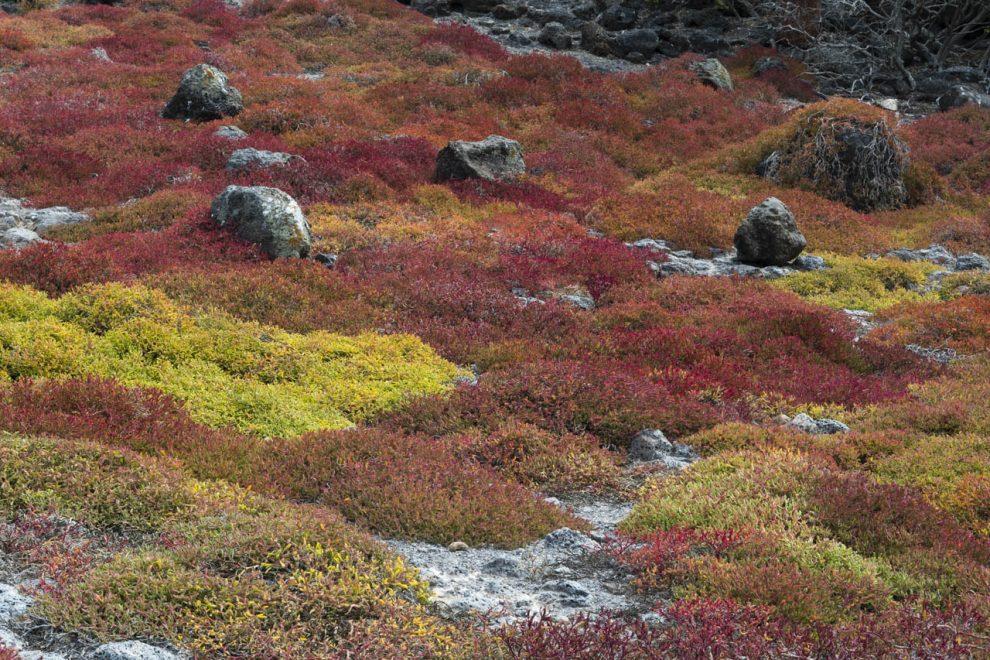 La vegetazione di South Plaza (Sesuvium edmonstonei)