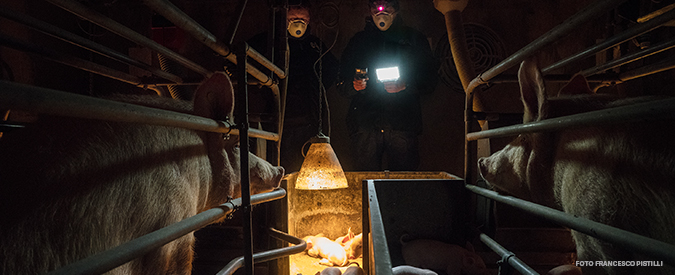 Allevamenti lager: maialini schiacciati e pulcini tritati. I reporter di FqMillenniuM nei blitz degli animalisti
