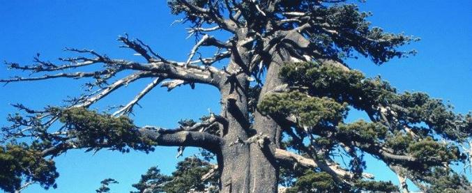 È in Italia l'albero più vecchio d'Europa: ha 1230 anni ed è nel Parco del Pollino