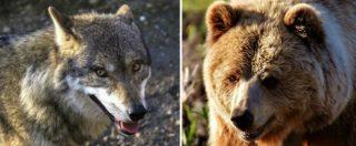 """Lupi e orsi, Trento e Bolzano approvano le leggi sugli abbattimenti. Ministro Costa: """"Le impugnerò, uccidere non serve"""""""