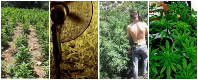 """Droga, Trapani è la California di Cosa nostra: """"Vigneti trasformati in campi di marijuana. Protetti da guardie armate"""""""