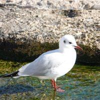 Un abitante. Sull'isola di sant'Andrea nidifica una specie particolare di gabbiano.