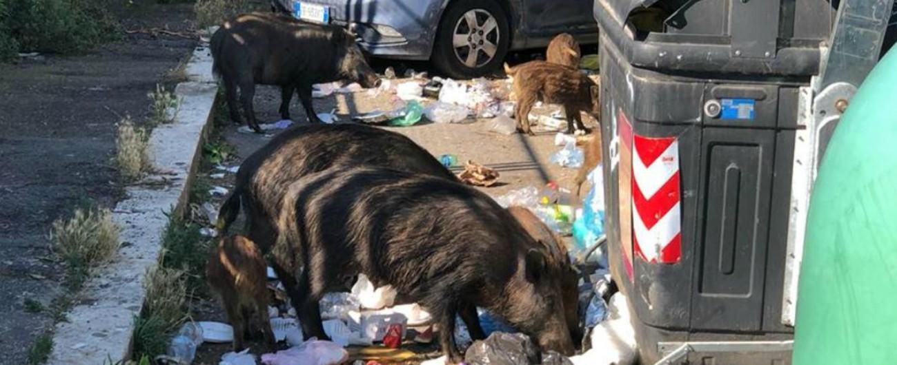 """Roma, cinghiali mangiano tra i cassonetti. 'Vengono dal parco gestito dalla Regione'. """"È compito del Comune pulire le strade"""""""