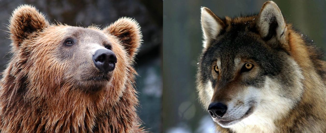 Lupi e Orsi, Trento e Bolzano li vogliono abbattere? Evidentemente si ritengono al di sopra della legge