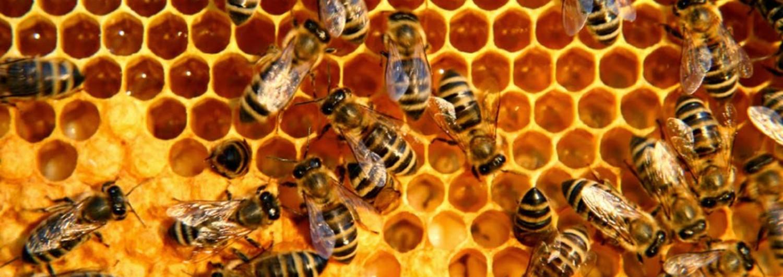 Puglia, assalito da uno sciame d'api: uomo muore per shock anafilattico. Trovati sul suo corpo 30 pungiglioni