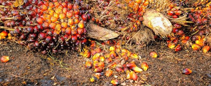 Olio di palma tra diesel e deforestazione: petizione per eliminare i sussidi. Ma i big del settore minacciano ritorsioni