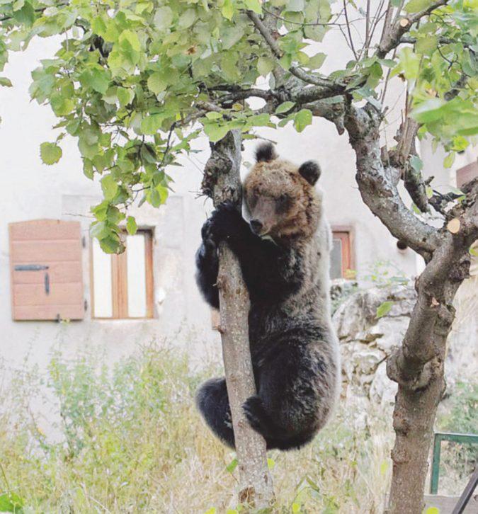 Da Amareno a Yogi, gli orsi della porta accanto