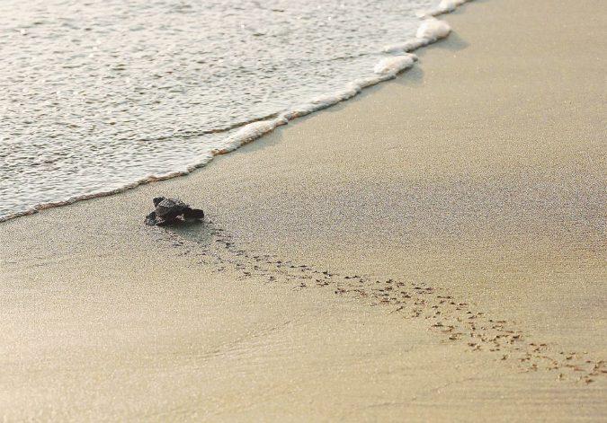 C'è vita nel triangolo della morte di Priolo: cento tartarughine