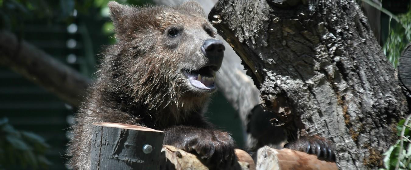 """Lupi e orsi, il Cdm impugna la legge sugli abbattimenti. Costa: """"Atto dovuto"""""""