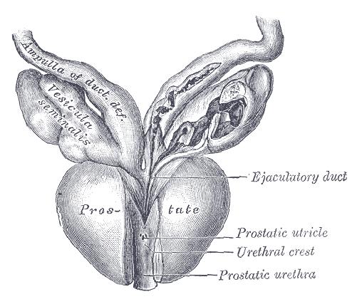 ingrandimento del pene con lerezione