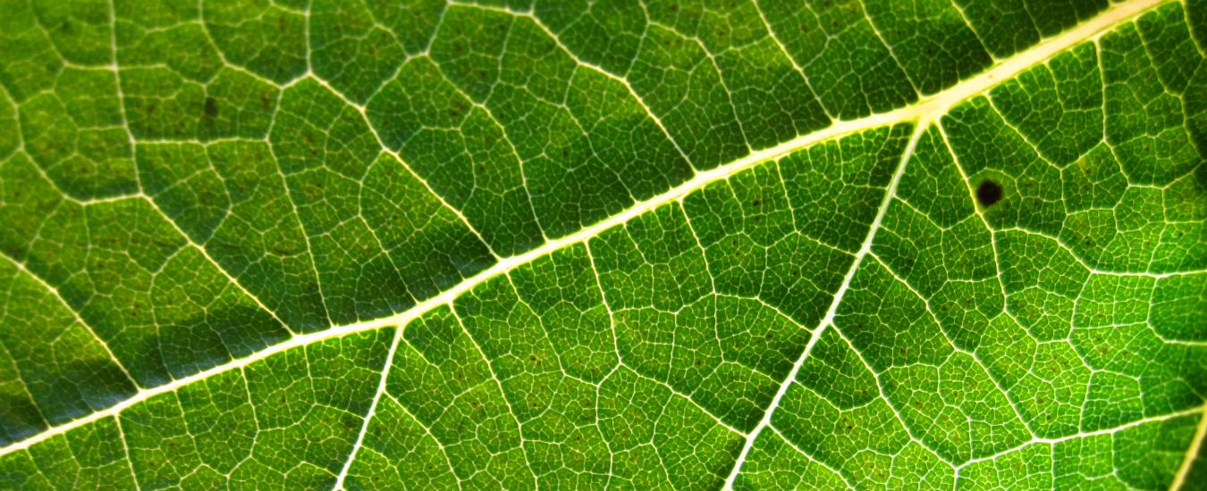 Cambiamenti climatici, le foglie diventano più spesse. E non è una buona notizia