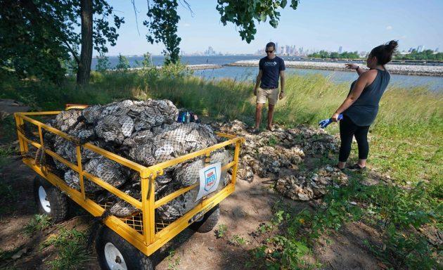 New York, 'ostriche spazzino' per ripulire il fiume Hudson.