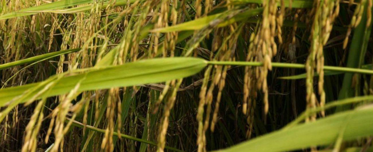 Dazi, Ue si spacca sul riso asiatico: si va verso la reintroduzione della tassa. Centinaio: 'Ora clausola di salvaguardia'