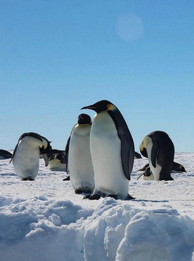 Antartide, gruppo di pinguini con cuccioli rischia la morte: troupe Bbc interviene e li salva