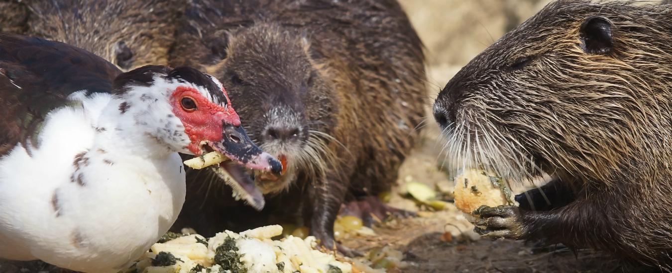 Specie invasive, la situazione è sfuggita di mano. Provare a limitarle è una battaglia persa