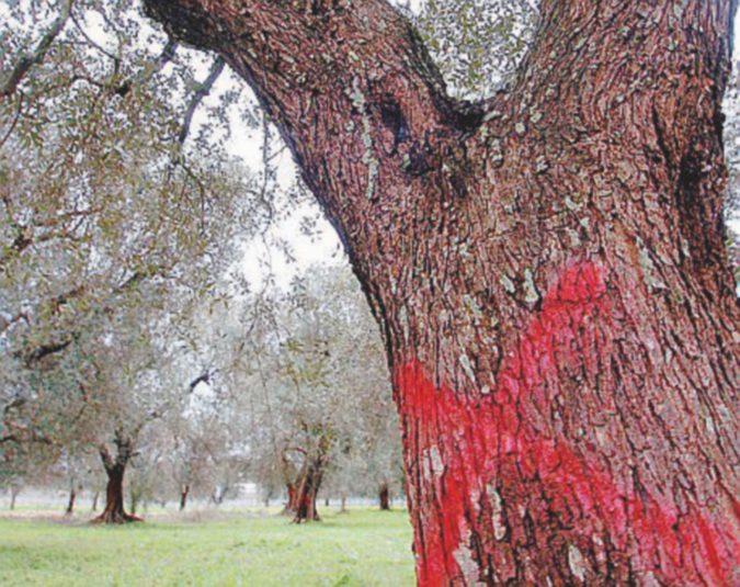 Allarme Xylella, piante infette anche in Toscana. Il ceppo è diverso da quello della Puglia
