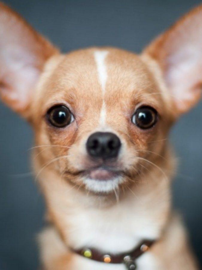 Chihuahua salva la vita alla sua padrona aggredita da un orso: l'incredibile storia del cagnolino-eroe