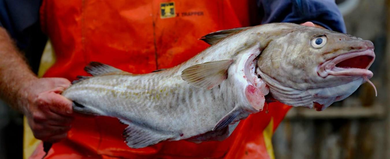 L'improbabile viaggio del merluzzo: pescato in Norvegia e 'gonfiato' in Cina