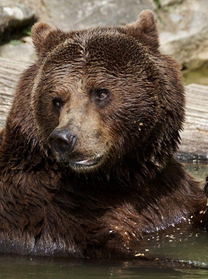 """Uomo attaccato da un orso resta vivo nella tana e aspetta che l'animale torni a finirlo: """"Sono sopravvissuto bevendo la mia urina"""""""