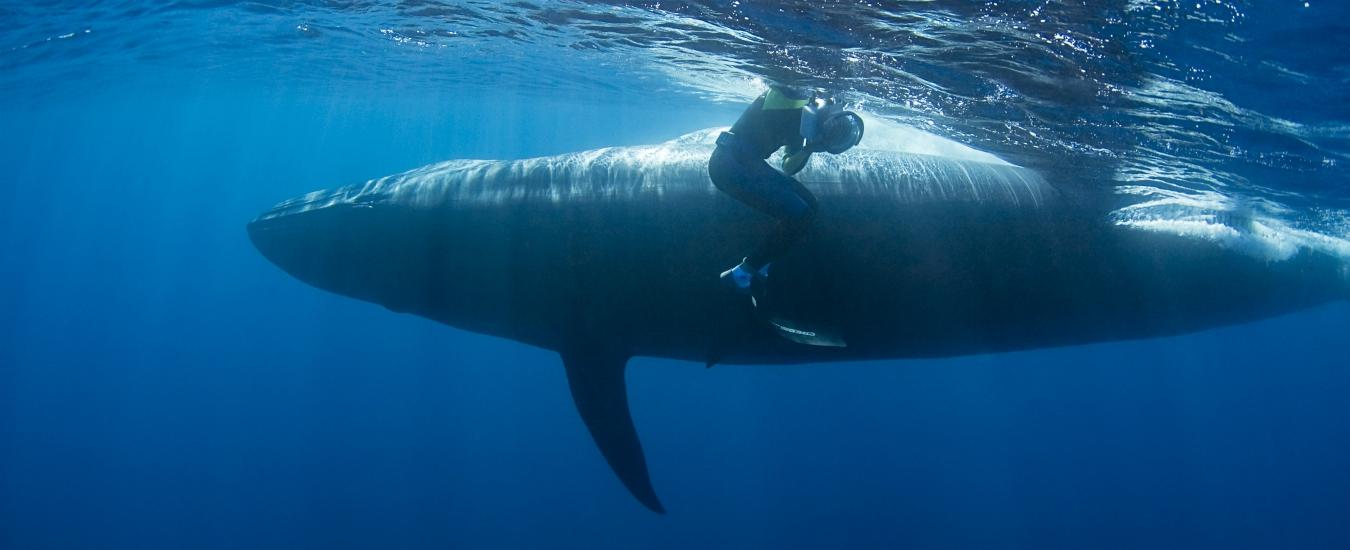 L'Islanda continuerà a cacciare balene per altri cinque anni. Inutilmente