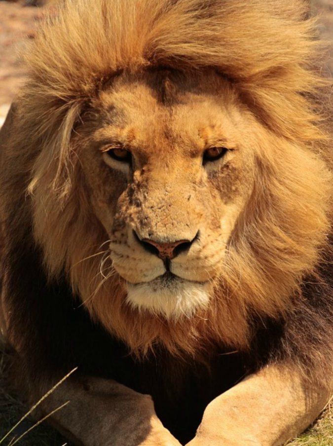 Sudafrica, bracconiere travolto da elefante e divorato dai leoni