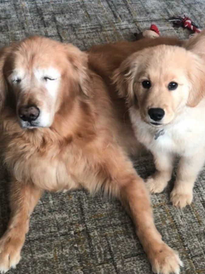 """Charlie, il golden retriver cieco che ha trovato un """"cane guida"""" che vede al posto suo"""