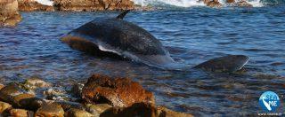 Arzachena, giovane capodoglio spiaggiato con 22 chili di plastica nello stomaco e un feto di 2,4 metri in decomposizione