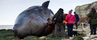 """Wwf, un terzo dei capodogli morti nel Mediterraneo ucciso dalla plastica. """"È anche nei molluschi che mangiamo"""""""