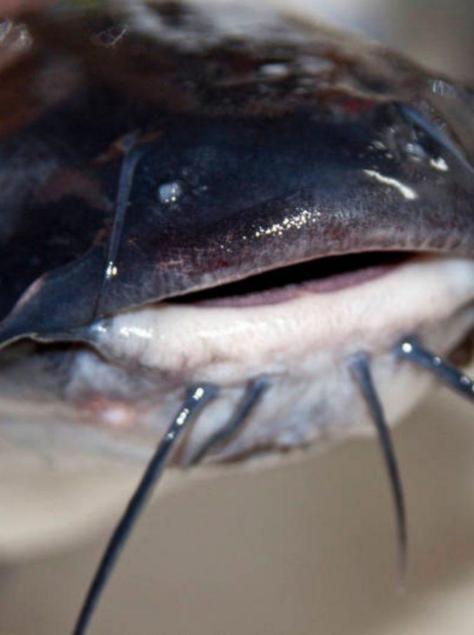 Enorme Pesce Gatto Di 11 Kg Mangia Anatre Del Laghetto Bambini