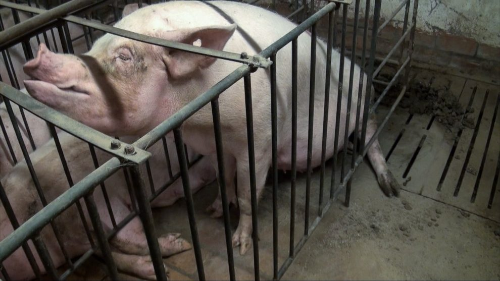 Maiali mutilati – Essere animali