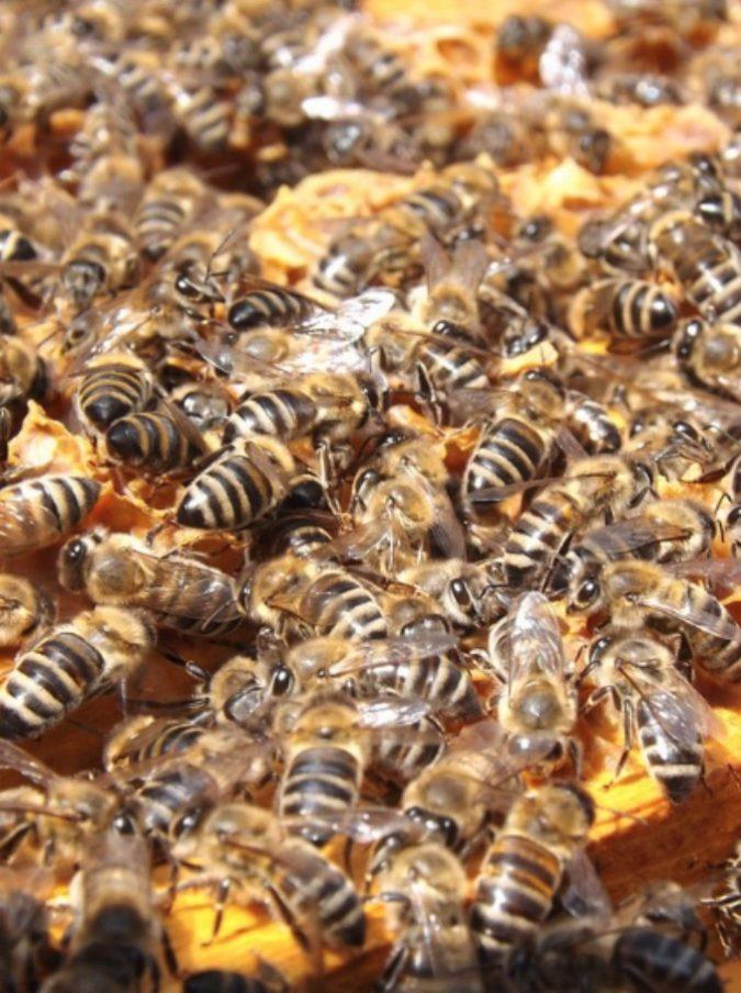 Tenta di rimuovere un alveare, le api lo attaccano e lo uccidono