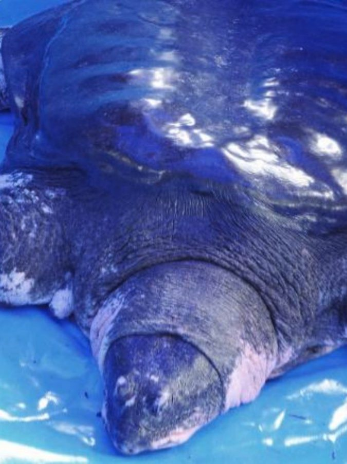 Cina, morta rara tartaruga gigante dello Yangtze: ora ne restano solo tre esemplari al mondo