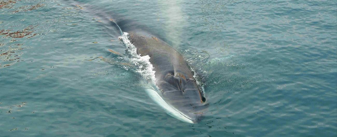 """Liguria, aereo scarica 80 tonnellate di cherosene su Santuario dei cetacei. Arpal: """"Non è in mare ma volatilizzato in aria"""""""