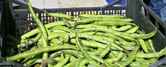 Sesto Fiorentino, bambino è affetto da 'favismo': sindaco vieta la coltivazione delle fave nell'area intorno alla sua casa