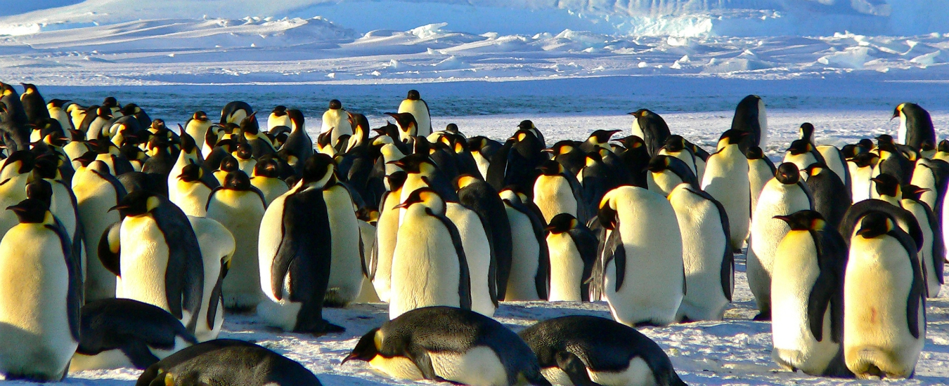 Antartide, il ghiaccio si scioglie e fa strage di pinguini. Il loro habitat non è più al sicuro