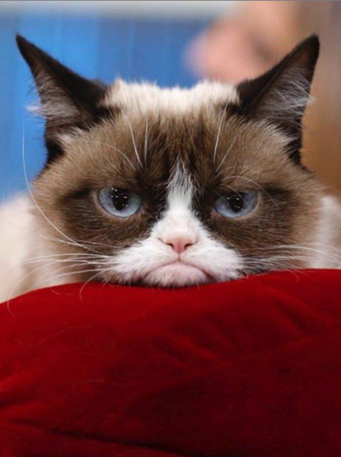 """Grumpy Cat, è morto il celebre gatto """"arrabbiato"""": lascia un patrimonio da 100 milioni di dollari"""