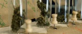 """Cannabis sativa, Cassazione: legge non consente vendita dei derivati. Resina e olio illegali se hanno """"efficacia drogante"""""""