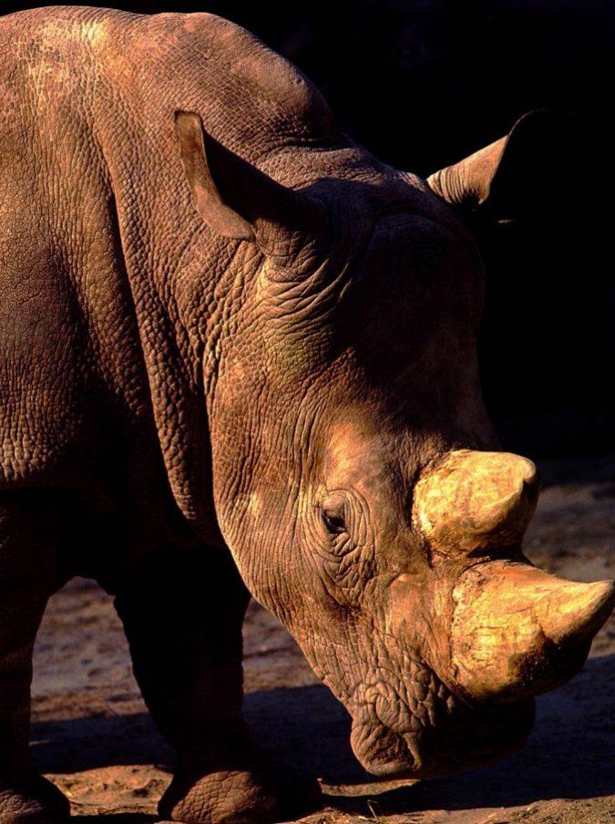 Malaysia, è morto l'ultimo rinoceronte di Sumatra maschio: ora resta solo una femmina
