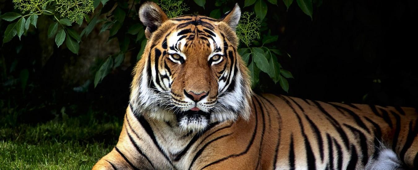 Una tigre che passeggia in soggiorno, l'ultimo ritrovato della Realtà Aumentata di Google